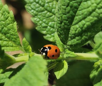 Ladybird photo by Paul 2